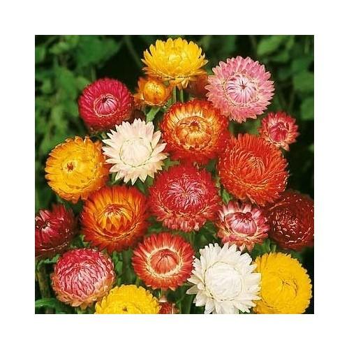 Ulei esential de Imortela - Helichrysum