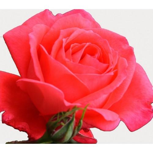Ulei esential de Trandafir -Rosa Damascena