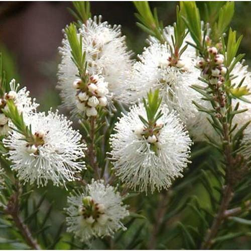 Apa florala de arbore de ceai - 100ml