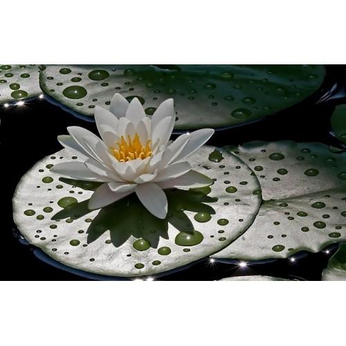 Floare de lotus Parfumant cosmetic- 30gr