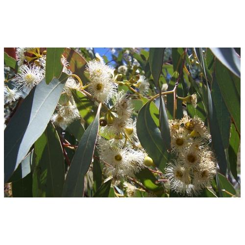 Eucalipt citriodora - 10ml